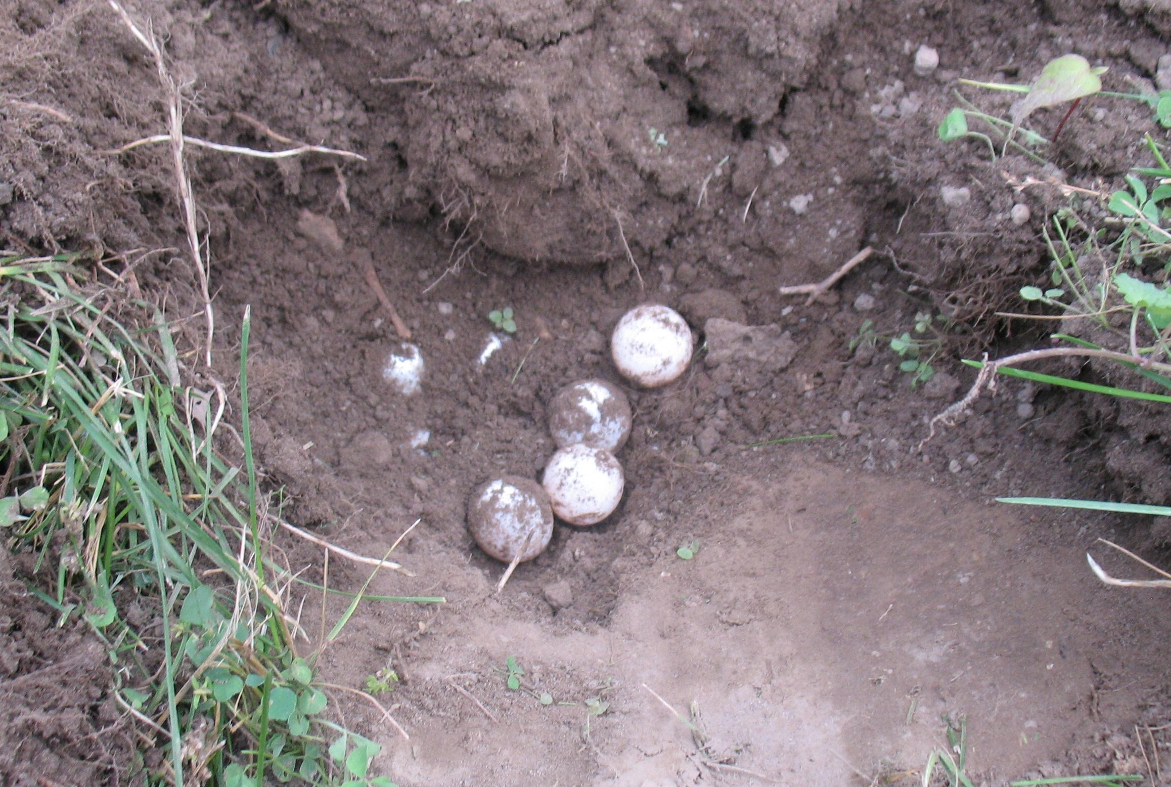 Turtle number 3's eggs